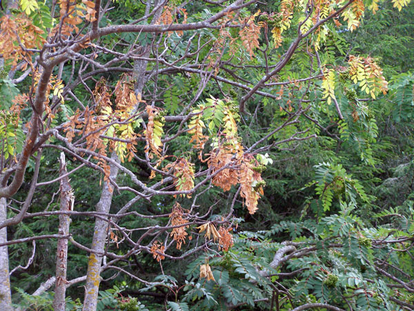 Mountain Ash Leaves Wilt And Turn Yellow Brown