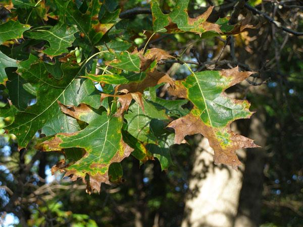 Image Oak Wilt 3