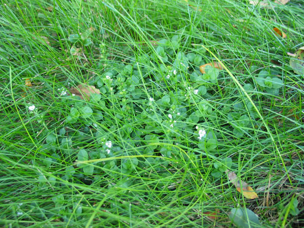 Is This Plant A Weed Garden University Of Minnesota