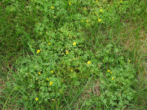Is this plant a weed garden university of minnesota extension image broadleaf plantain mightylinksfo