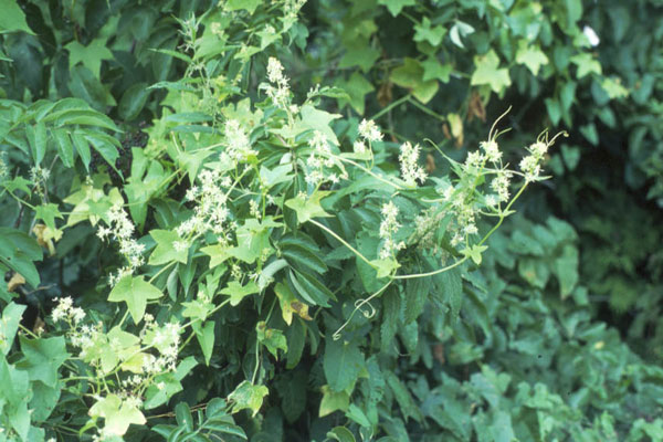Is this plant a weed garden university of minnesota extension wild cucumber mightylinksfo