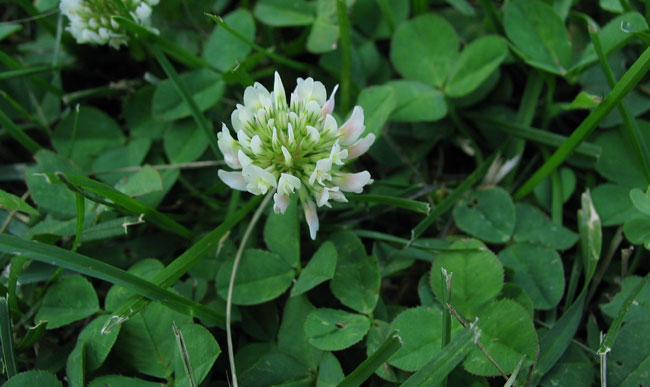 Control options for common minnesota lawn and landscape weeds white clover trifolium repens mightylinksfo