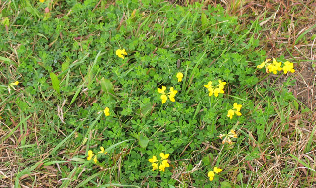 Control options for common minnesota lawn and landscape weeds birdsfoot trefoil lotus corniculatus mightylinksfo