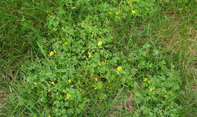Control options for common minnesota lawn and landscape weeds yellow woodsorrel oxalis stricta mightylinksfo