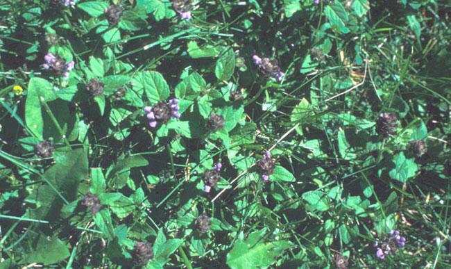 Control options for common Minnesota lawn and landscape weeds