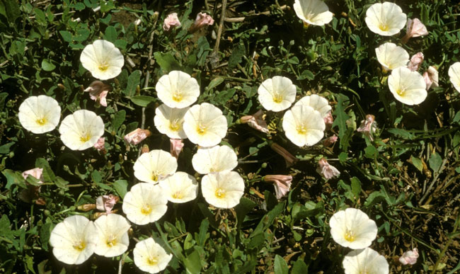 Control options for common minnesota lawn and landscape weeds field bindweed aka creeping jenny convolvulus arvensis mightylinksfo